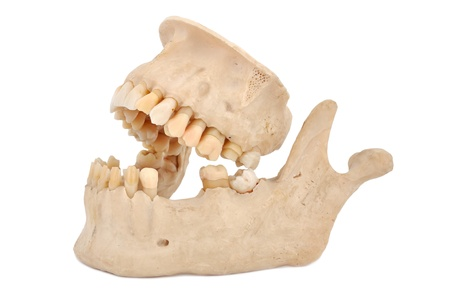 model of human teeth on a white background photo