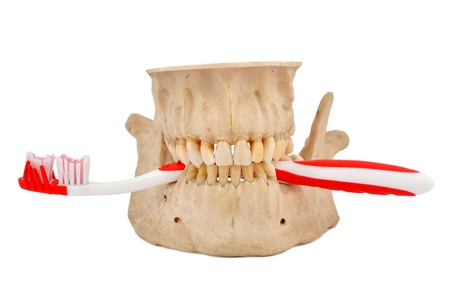 human jaw and tooth brush on a white background Stock Photo - 14036543