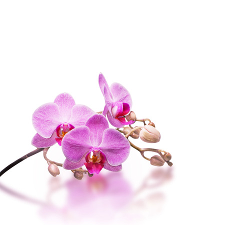 streaked: Pink streaked orchid flower, isolated Stock Photo