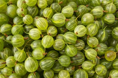 Gooseberries background. Background of gooseberries. Sweet and juicy berry. Green berries.