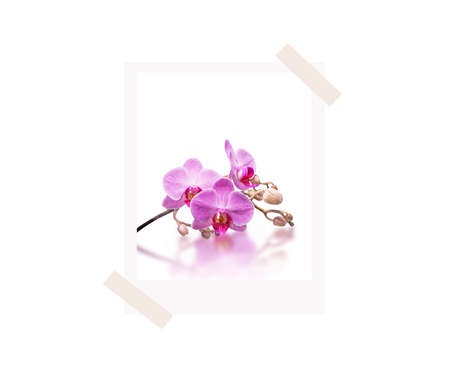 Orchid in photo frame glued with adhesive tape. Pink orchids, greeting card. White background. Top view. Photo frame glued with adhesive tape isolated on white background. Flat lay.