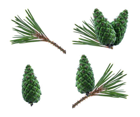 Set of pine cones. Cones on a branch isolated on white. Spruce branch with green cones on white. Young pine cone on a green tree branch. Coniferous evergreen bumps with fruits. Stock fotó