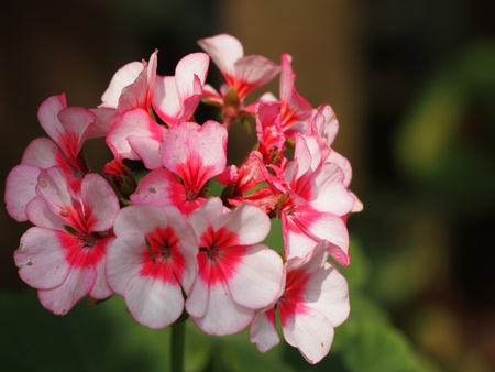 geranium: macro close up of a smal pink geranium flower blossom  Stock Photo