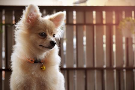 Puppy pomeranian dog.