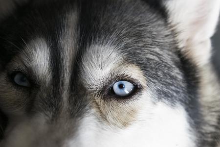 Close up on blue eyes of a Siberian husky dog