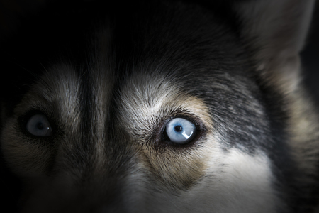 siberia: Close up on blue eye of Siberian husky dog in dark