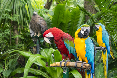 Scarlet Macaw parrot and  blue-and-yellow macaw (Ara ararauna)
