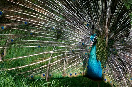 indian blue: Indian Blue Peacock
