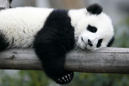 Panda Bear Stock Photo - 2561960