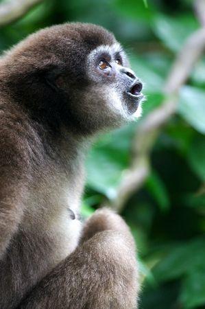 handed: White Handed Gibbon