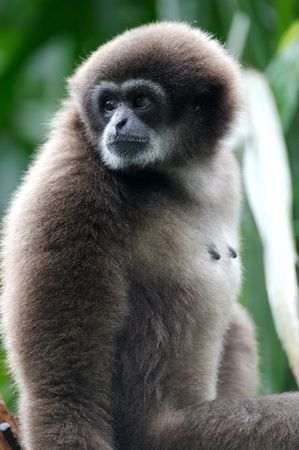 gibbon: White Handed Gibbon