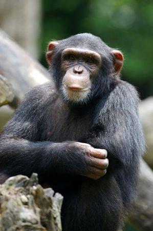 chimpances: Chimpanc�