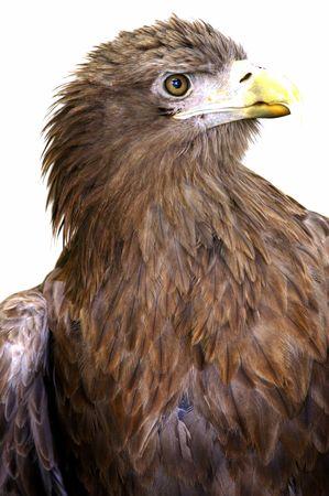 white tail: White Eagle coda