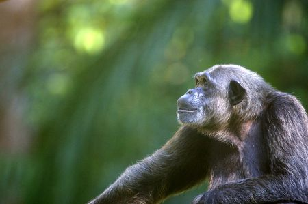 chimpances: Los chimpanc�s
