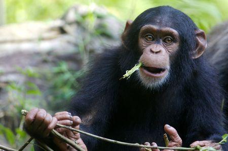 chimpances: Chimpanc�s