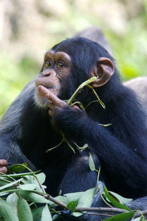 chimpances: Chimpancés