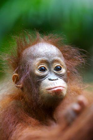 orangutang: Orangutans
