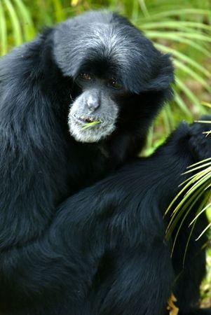 siamang: Siamang Gibbon