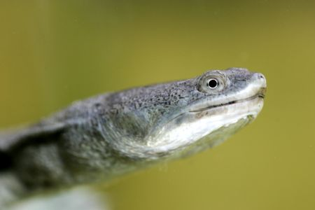 necked: Lange hals Turtle