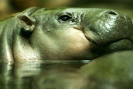 pygmy: Pygmy Hippo Stock Photo
