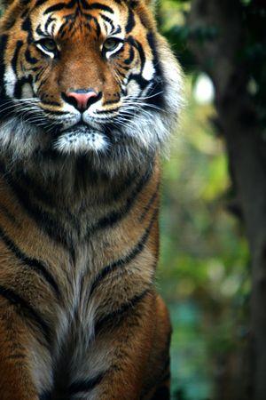 sumatran tiger: Tigre Di Sumatran Archivio Fotografico