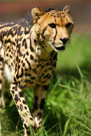 guepardo: Cheetah Rey
