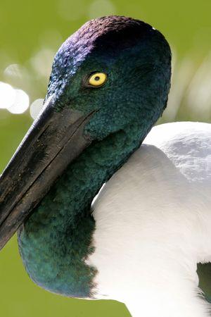 necked: Zwarte ooievaar van necked