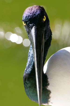 necked: Zwarte necked ooievaar