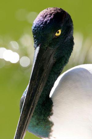 necked: Zwarte hals Stork