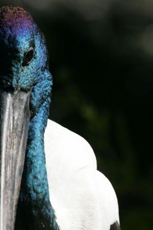 necked: Black Necked Stork Stock Photo