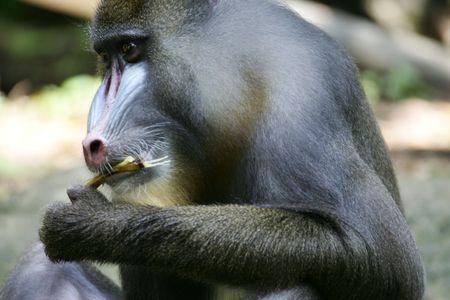 mandrill: Mandrill Monkey