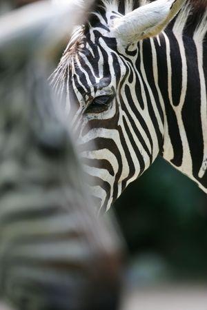 upclose: Zebra Stock Photo