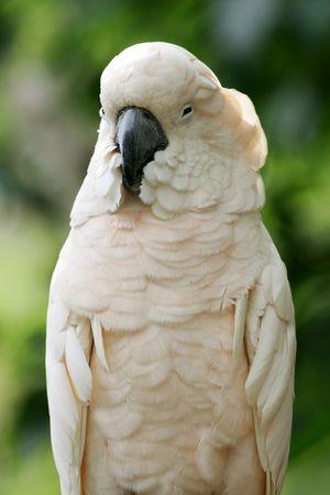 cockatoos: Parrot bianco