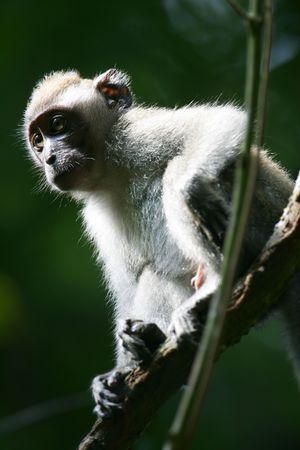 macaque: Macaque Monkey