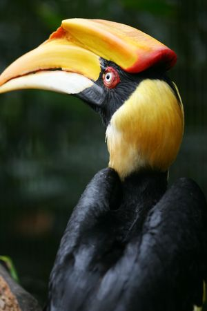 hornbill: Great Indian Hornbill
