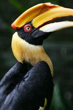 hornbill: Great Indian Hornbill