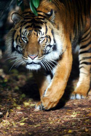 sumatran tiger: Tigre di Sumatra