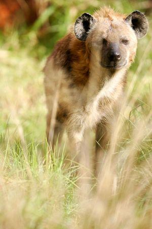 hienas: África Hiena Foto de archivo