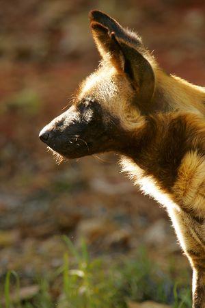 iene: Hyena africana