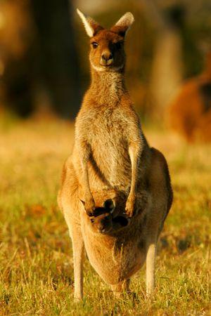 animal pouch: Western Grey Kangaroo