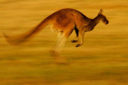marsupial: Western Grey Kangaroo