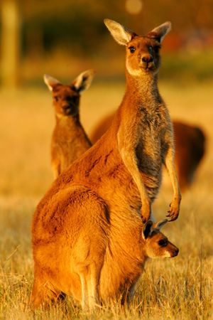 roo: Western Grey Kangaroo