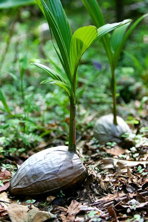 coconut seedlings: Palm Tree Seedlings