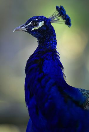 peahen: India azul pavo real