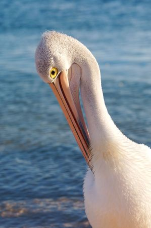 Pelican Stock Photo - 2903733