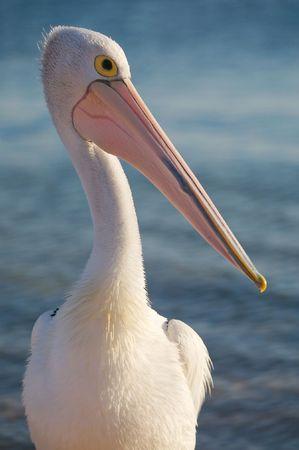 Pelican Stock Photo - 2903731
