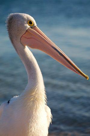 Pelican Stock Photo - 2903735