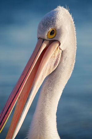 Pelican Stock Photo - 2903734