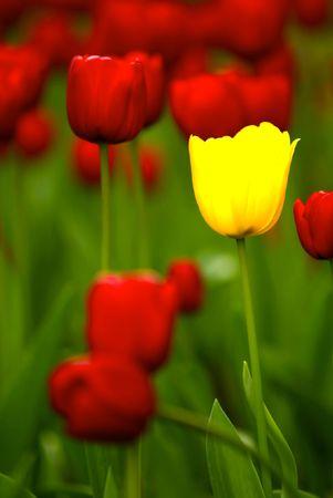centred: Tulips Stock Photo