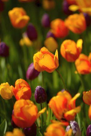 upclose: Tulips Stock Photo